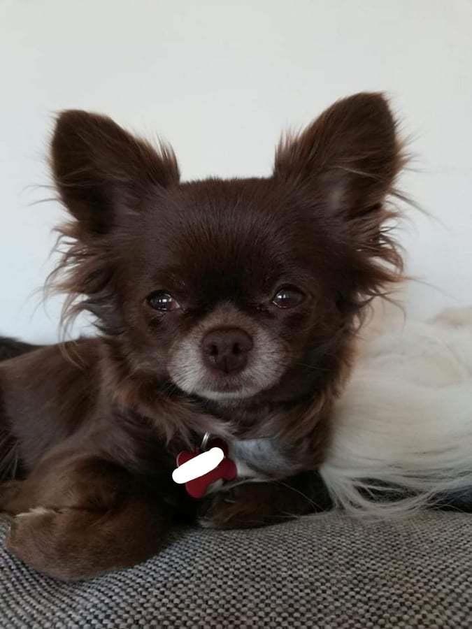 Chihuahua Tesla billede 5