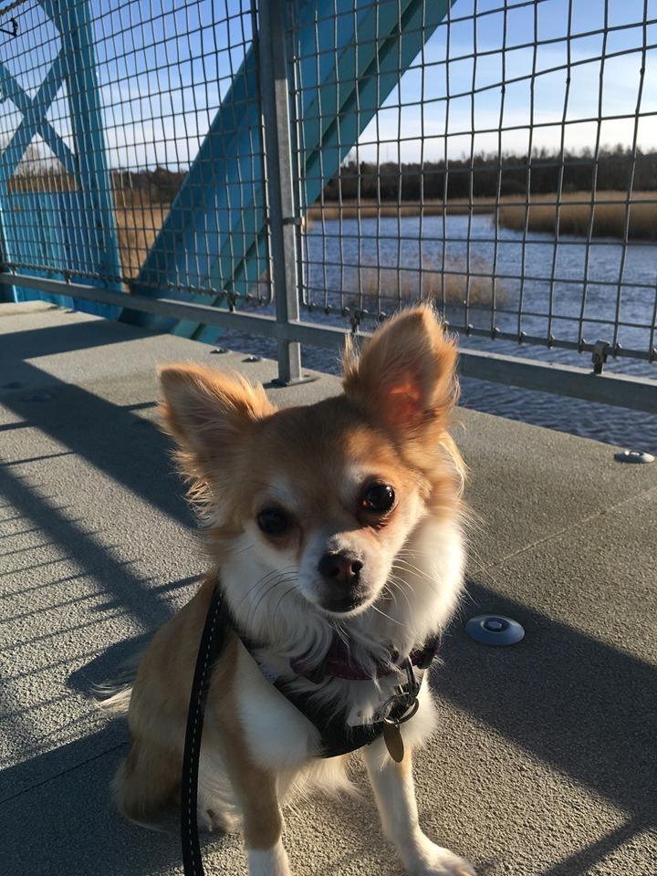 Chihuahua Emmy billede 10
