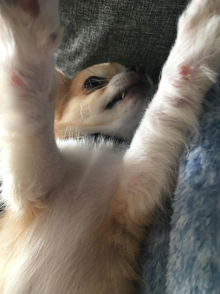 Chihuahua Emmy billede 7