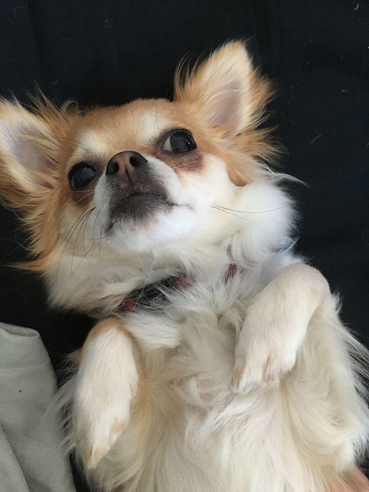 Chihuahua Emmy billede 1
