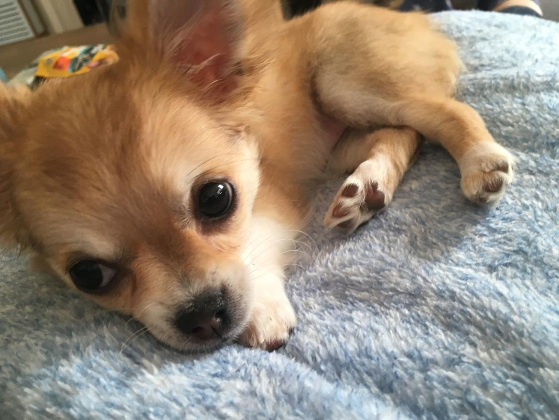 Chihuahua Emmy billede 5