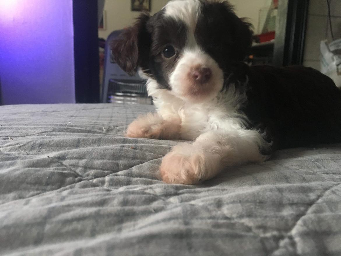 Chinese crested powder puff Nyx billede 6