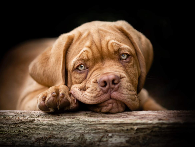 Dogue de bordeaux Buddy billede 1