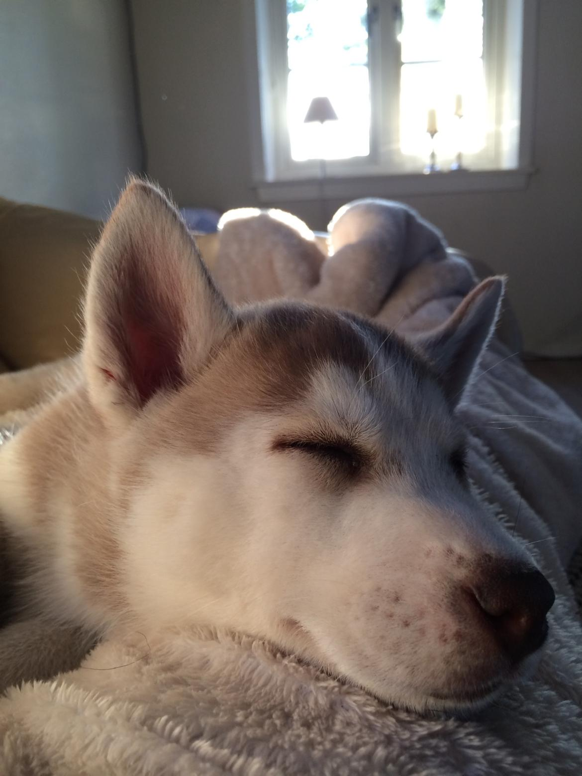 Siberian husky Sunshine Lady billede 19