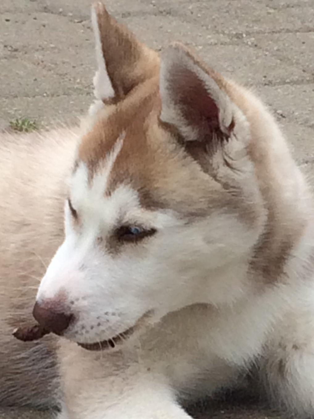 Siberian husky Sunshine Lady billede 29