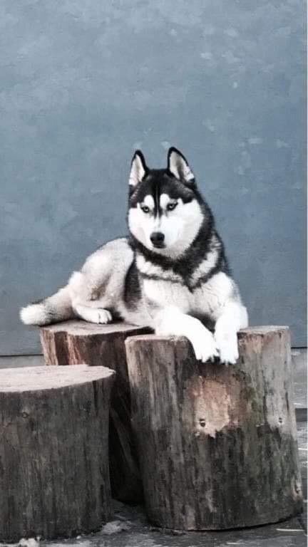 Siberian husky Sunshine Lady - Hendes mor kingdom narvjord loreal billede 37
