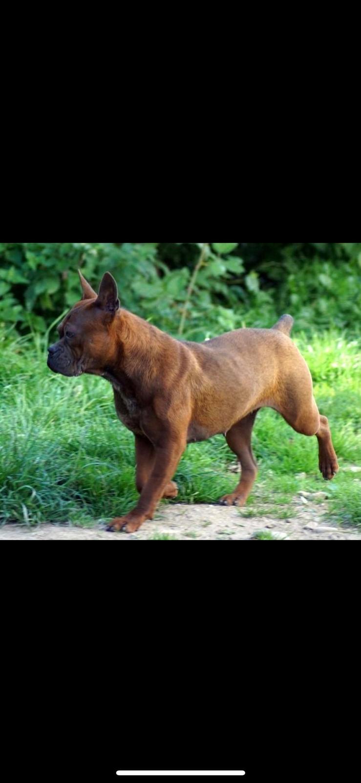 Chinese chongqing dog yam yam billede 1