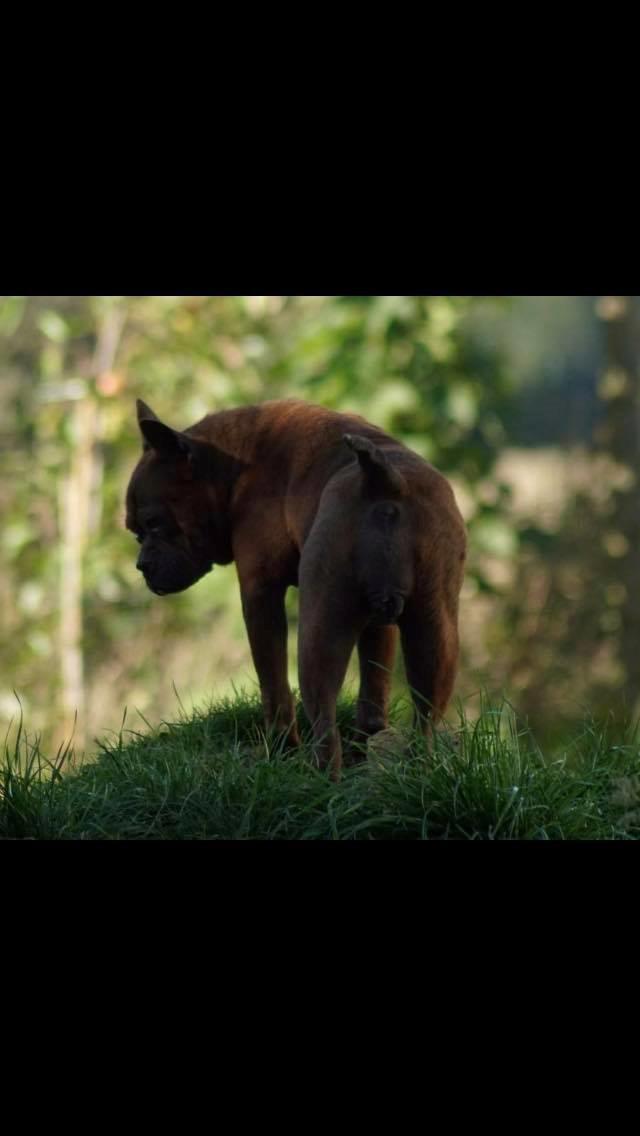 Chinese chongqing dog yam yam billede 3
