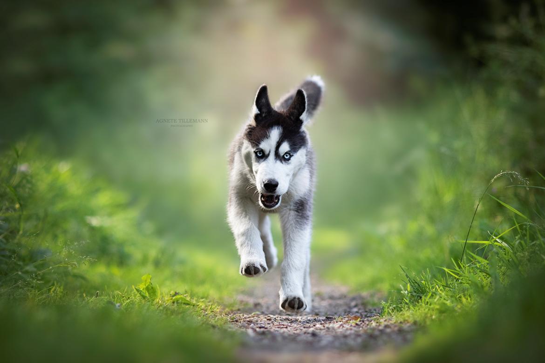 Siberian husky Koda - billedet taget af Agnete Tillemann  billede 2