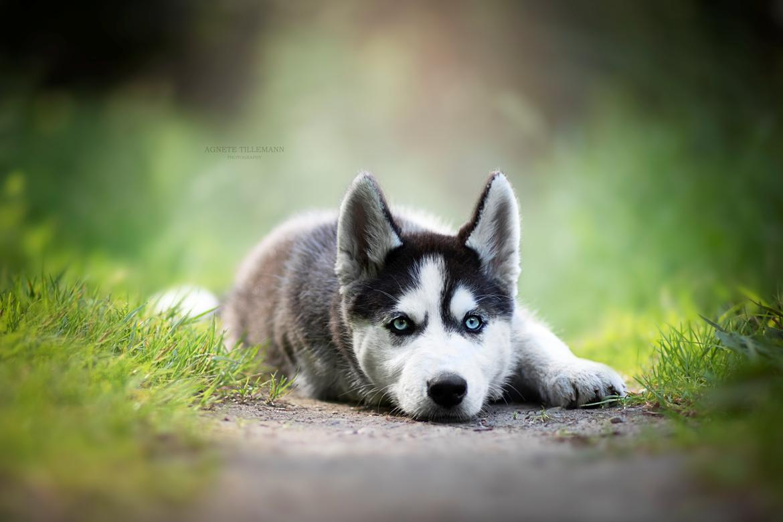 Siberian husky Koda - Billed taget af Agnete Tillemann  billede 4