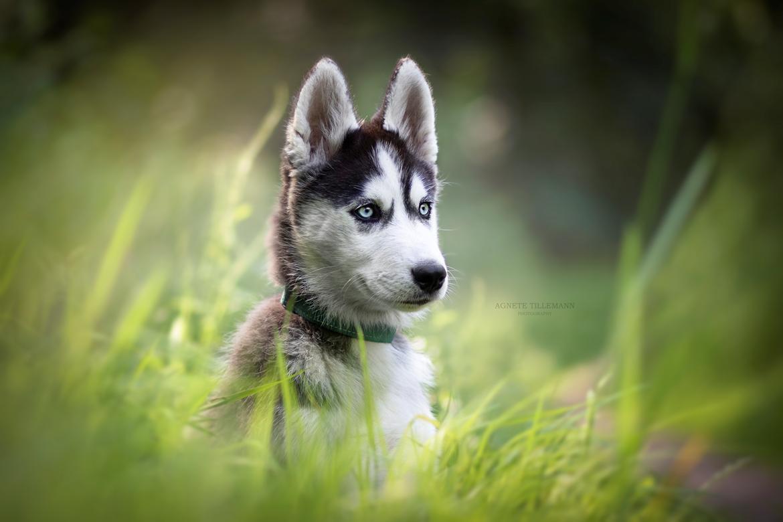 Siberian husky Koda - Billed taget af Agnete Tillemann  billede 5