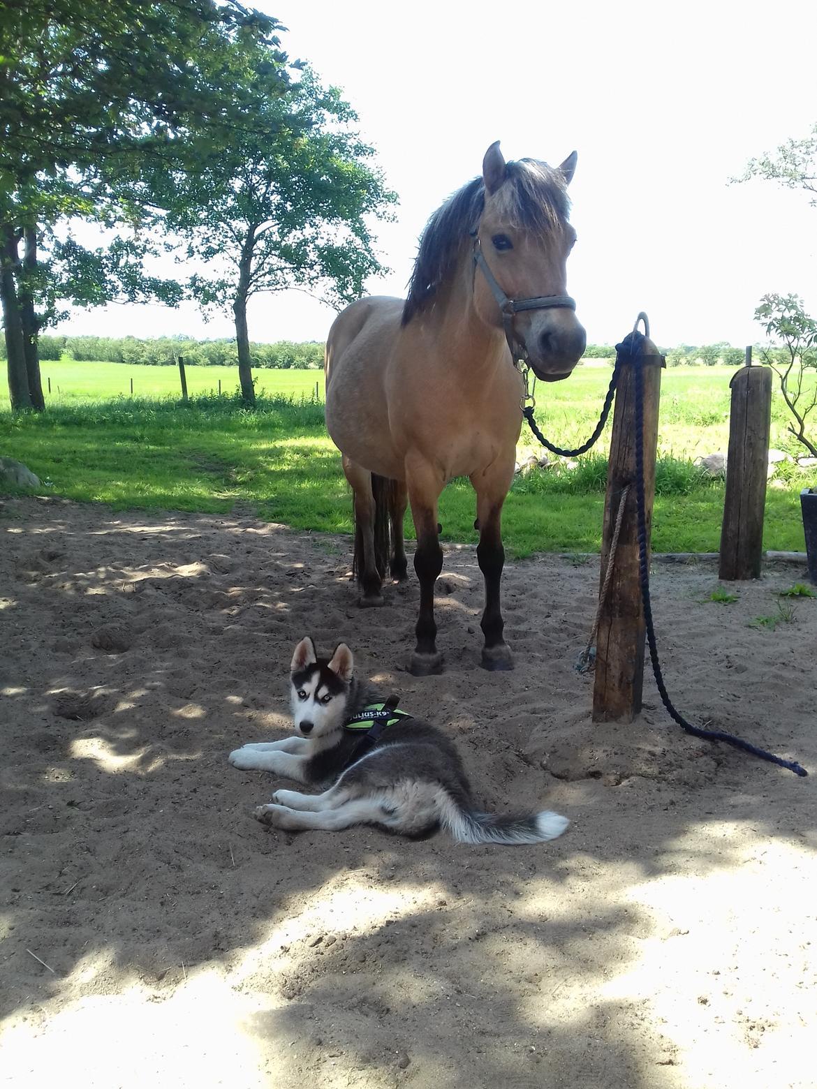 Siberian husky Koda billede 11