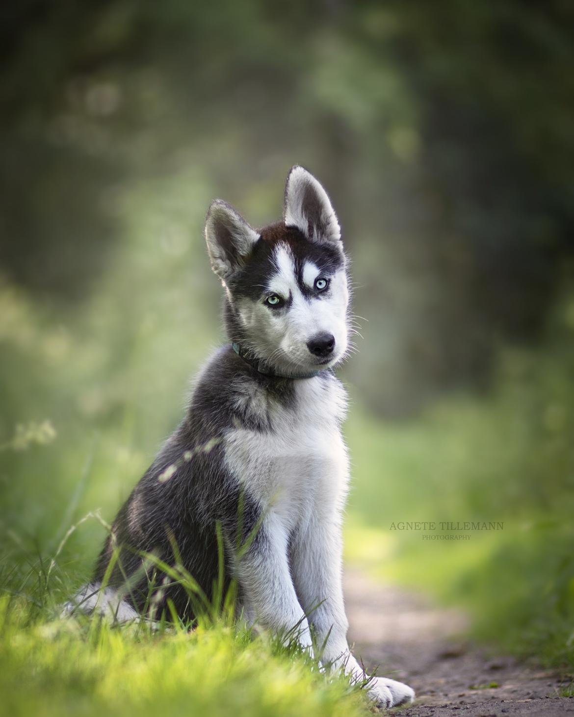 Siberian husky Koda - Billed taget af Agnete Tillemann  billede 12