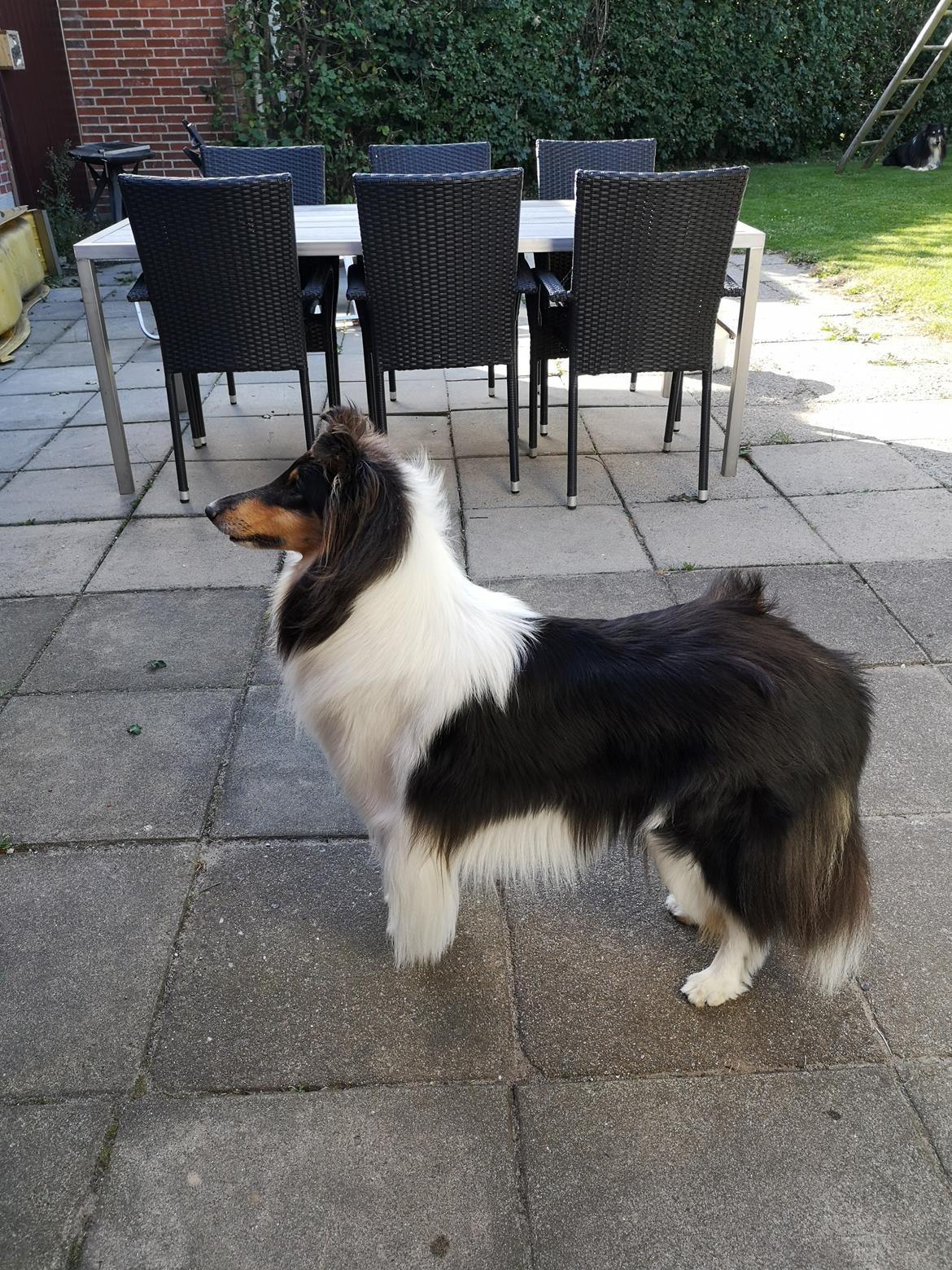 Collie langhåret Fleur billede 1