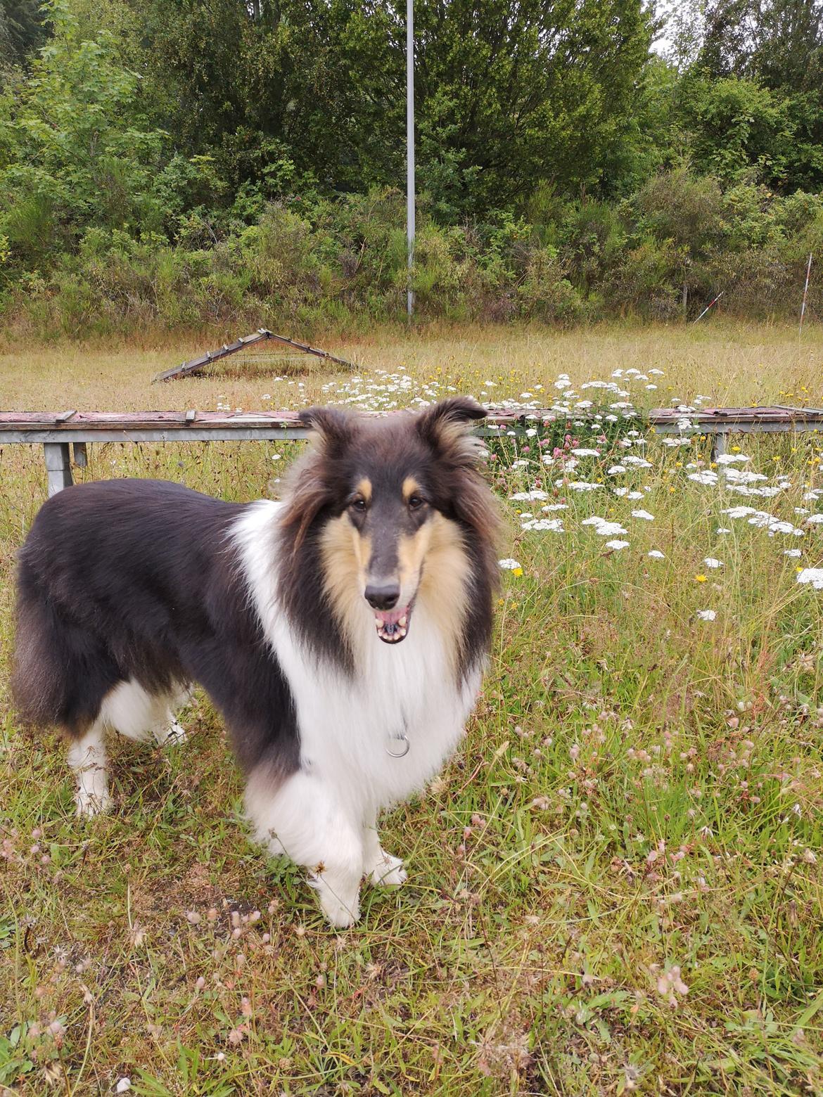 Collie langhåret Fleur billede 9