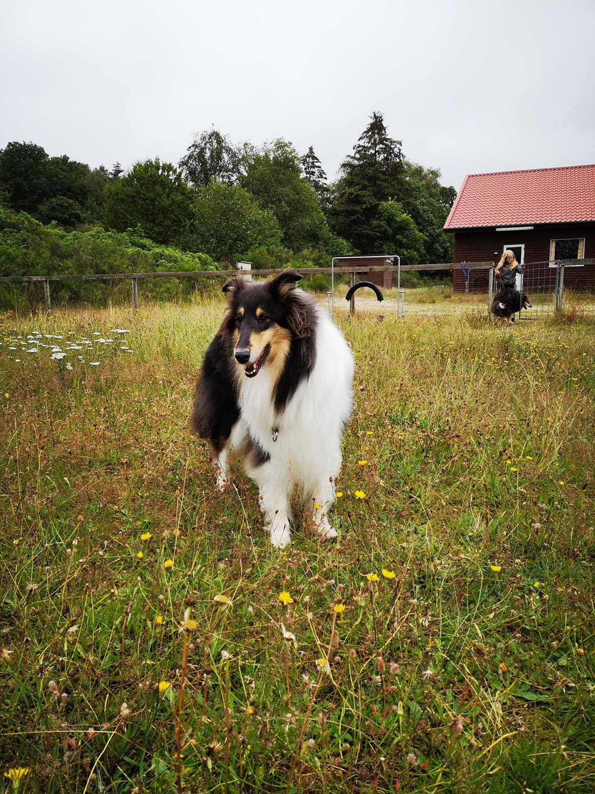 Collie langhåret Fleur billede 8