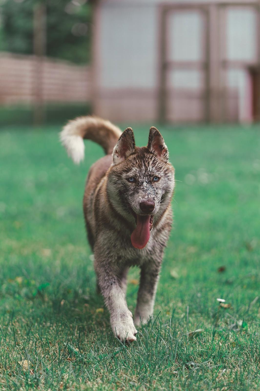 Siberian husky Sunshine Lady billede 49
