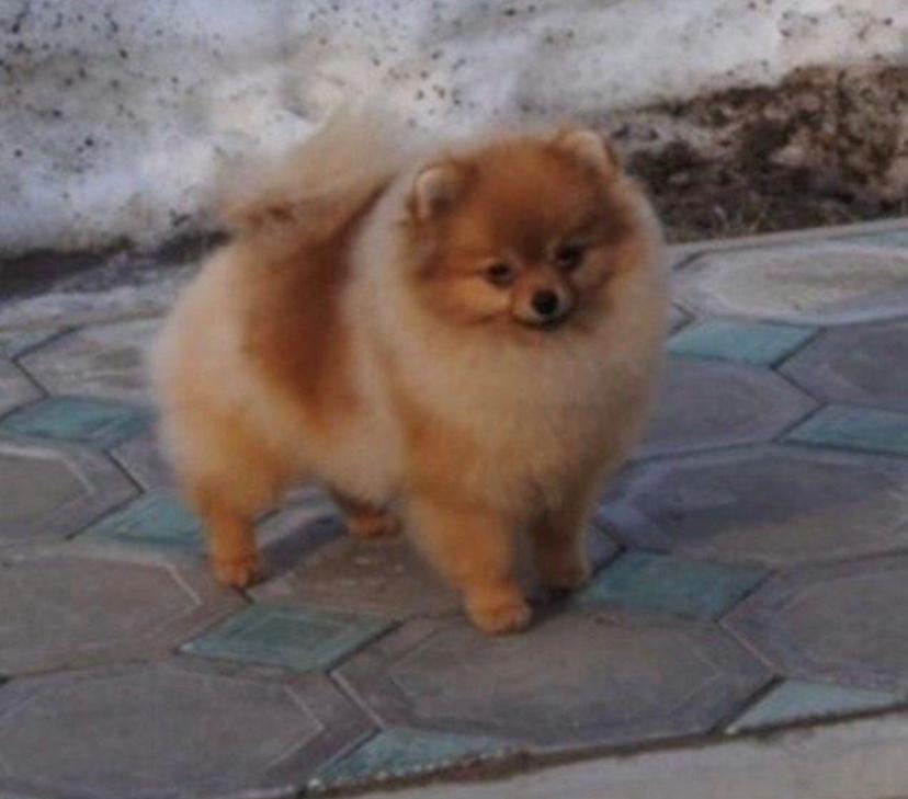 Pomeranian Penny (Simvol Goda russian Queen)  billede 1