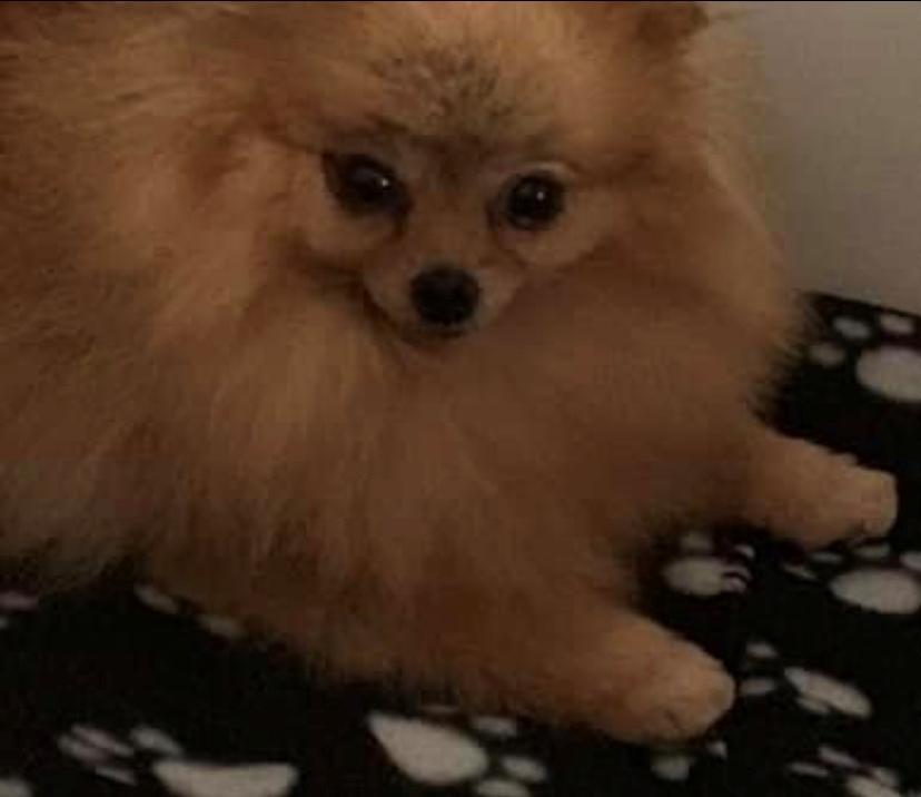 Pomeranian Penny (Simvol Goda russian Queen)  billede 3