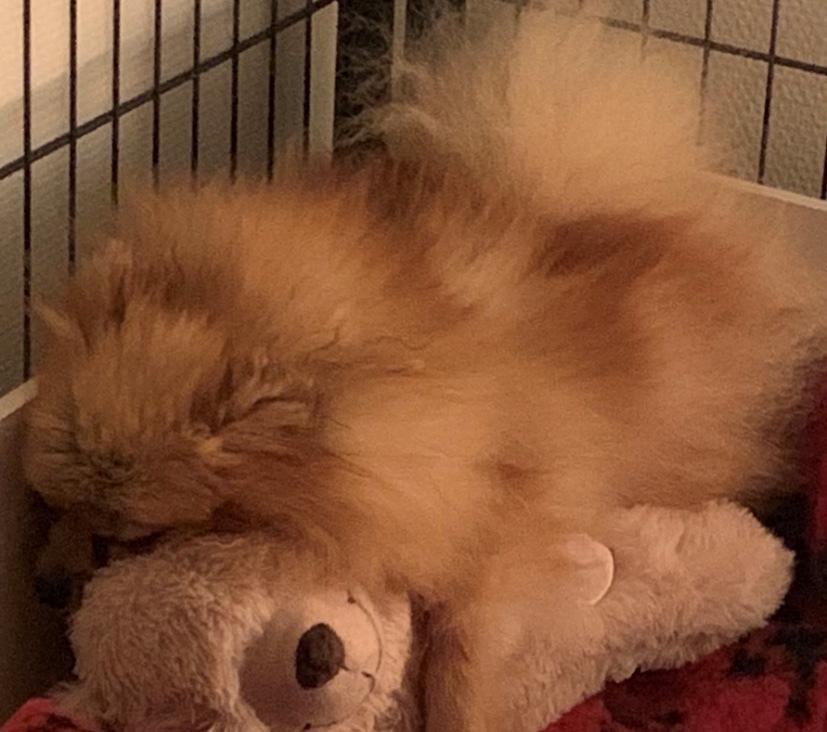 Pomeranian Penny (Simvol Goda russian Queen)  billede 5