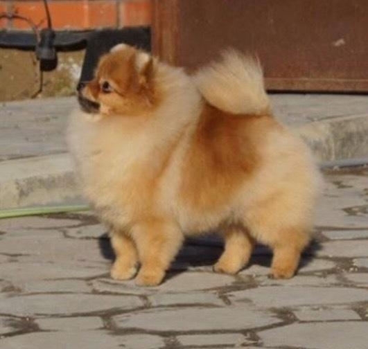 Pomeranian Penny (Simvol Goda russian Queen)  billede 2