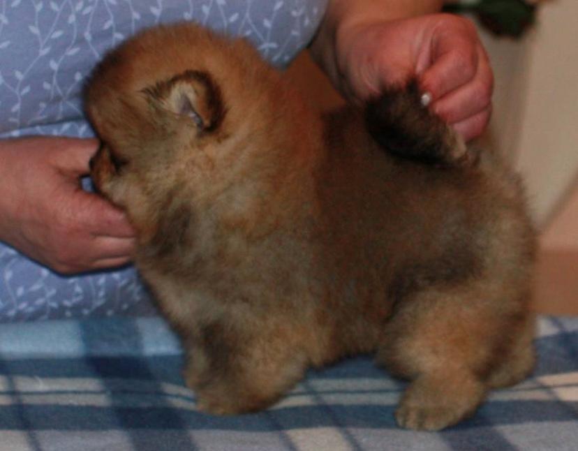 Pomeranian Cæsar (Tsukat Meisehof)  billede 3