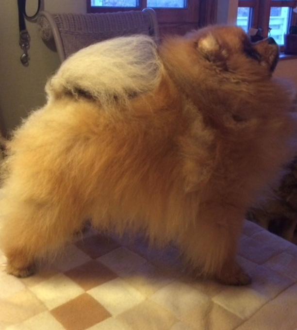 Pomeranian Cæsar (Tsukat Meisehof)  billede 12