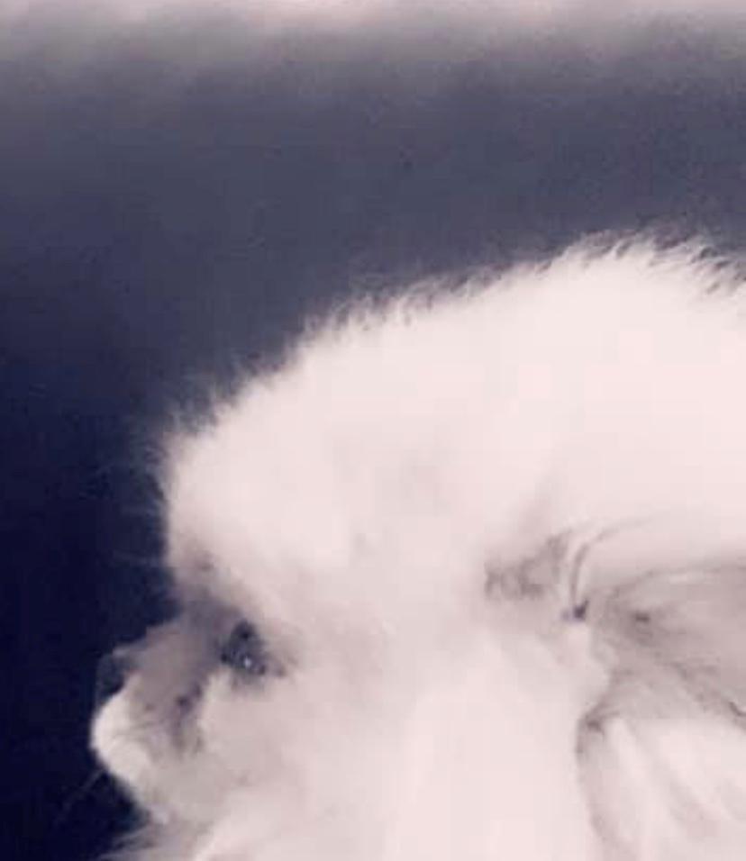Pomeranian Cæsar (Tsukat Meisehof)  billede 15