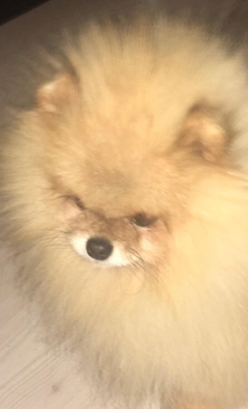 Pomeranian Cæsar (Tsukat Meisehof)  billede 16