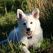 Hvid Schweizisk Hyrdehund Coco