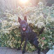 Hollandsk hyrdehund Zherlock - Kaldenavn Eddie