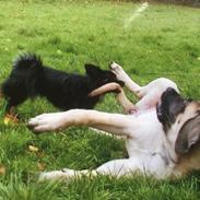 """Mastiff Cleo """"Himmelhund"""""""