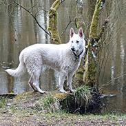 Hvid Schweizisk Hyrdehund SKYE (BeDaBlanco Nice Ninja)