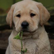Labrador retriever Mochipappa's Janis Joplin (Jojo)