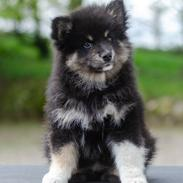 Finsk lapphund Lapinkaunis Somebody to Love