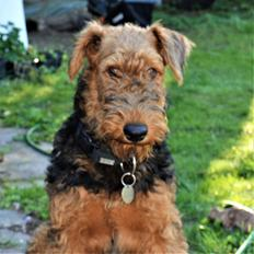 Airedale terrier Tor