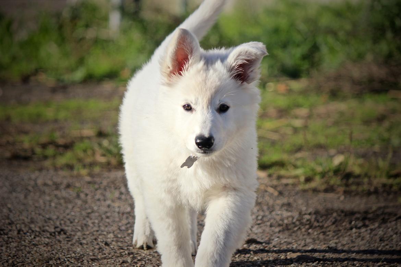 Hvid Schweizisk Hyrdehund Coco billede 2