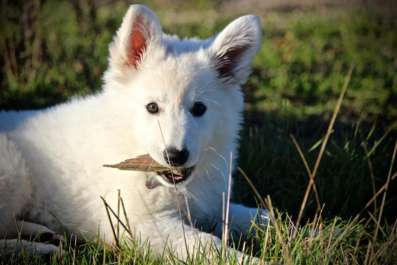 Hvid Schweizisk Hyrdehund Coco billede 6