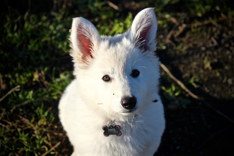 Hvid Schweizisk Hyrdehund Coco billede 7