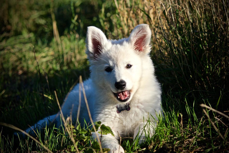 Hvid Schweizisk Hyrdehund Coco billede 3