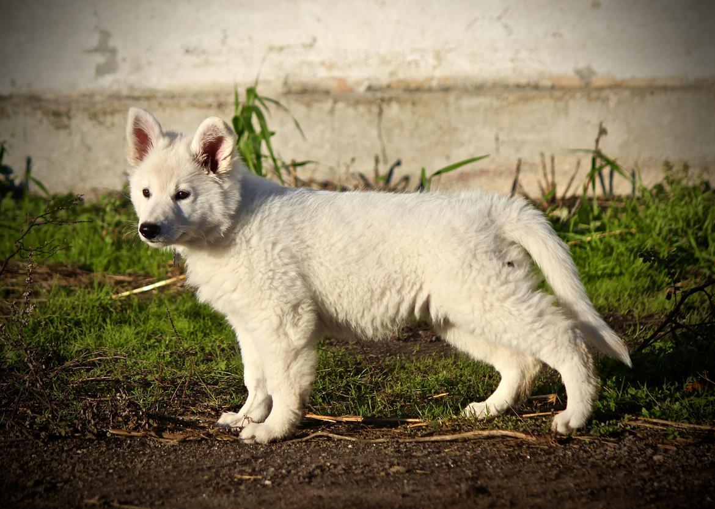 Hvid Schweizisk Hyrdehund Coco billede 14