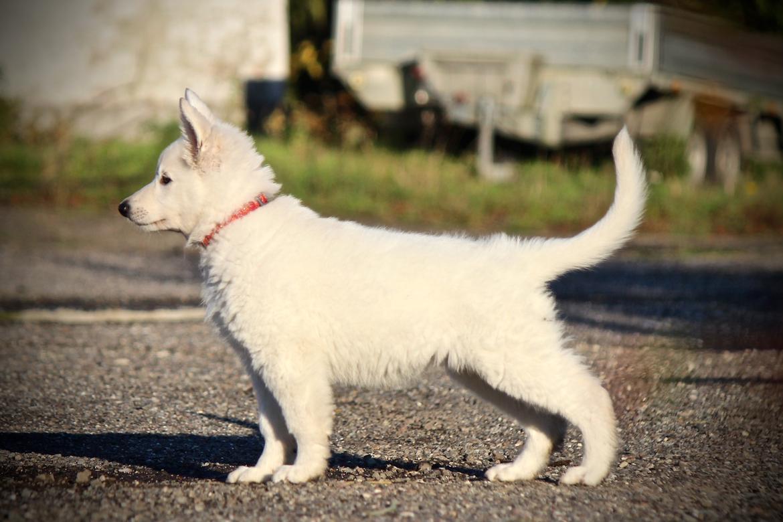 Hvid Schweizisk Hyrdehund Coco billede 16