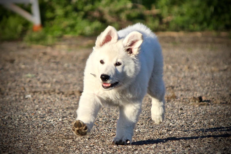 Hvid Schweizisk Hyrdehund Coco billede 18