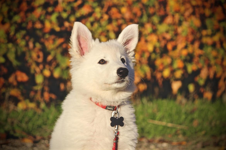 Hvid Schweizisk Hyrdehund Coco billede 1