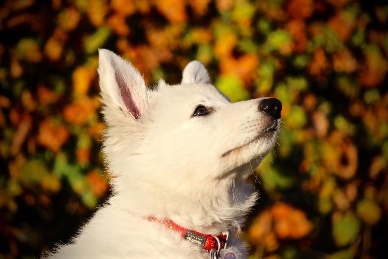 Hvid Schweizisk Hyrdehund Coco billede 8