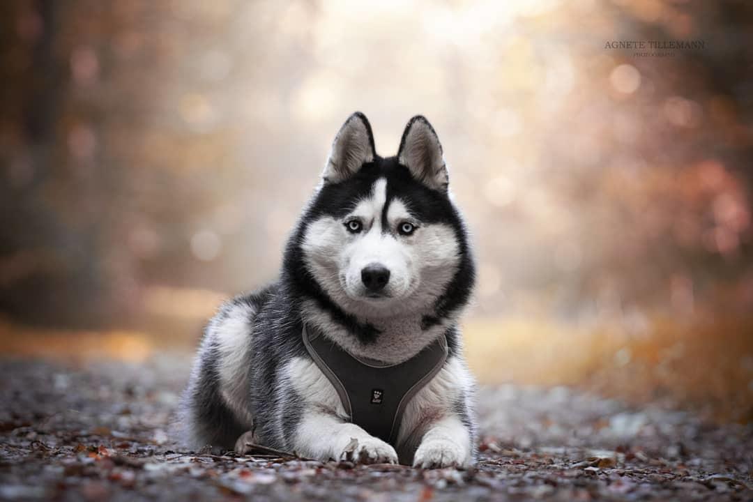 Siberian husky Koda billede 18