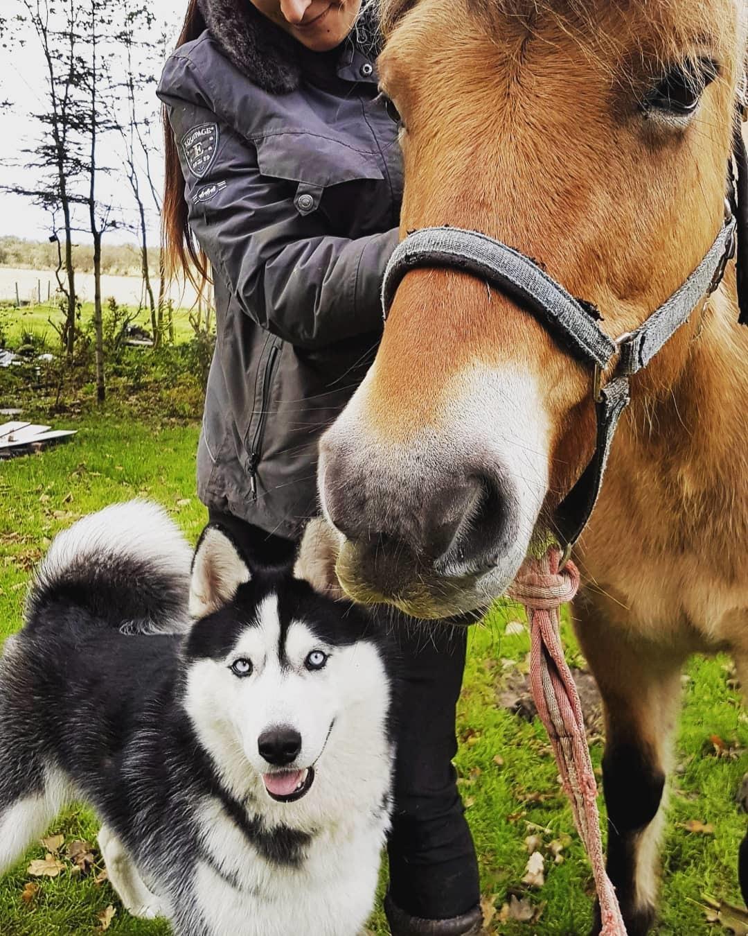 Siberian husky Koda billede 20