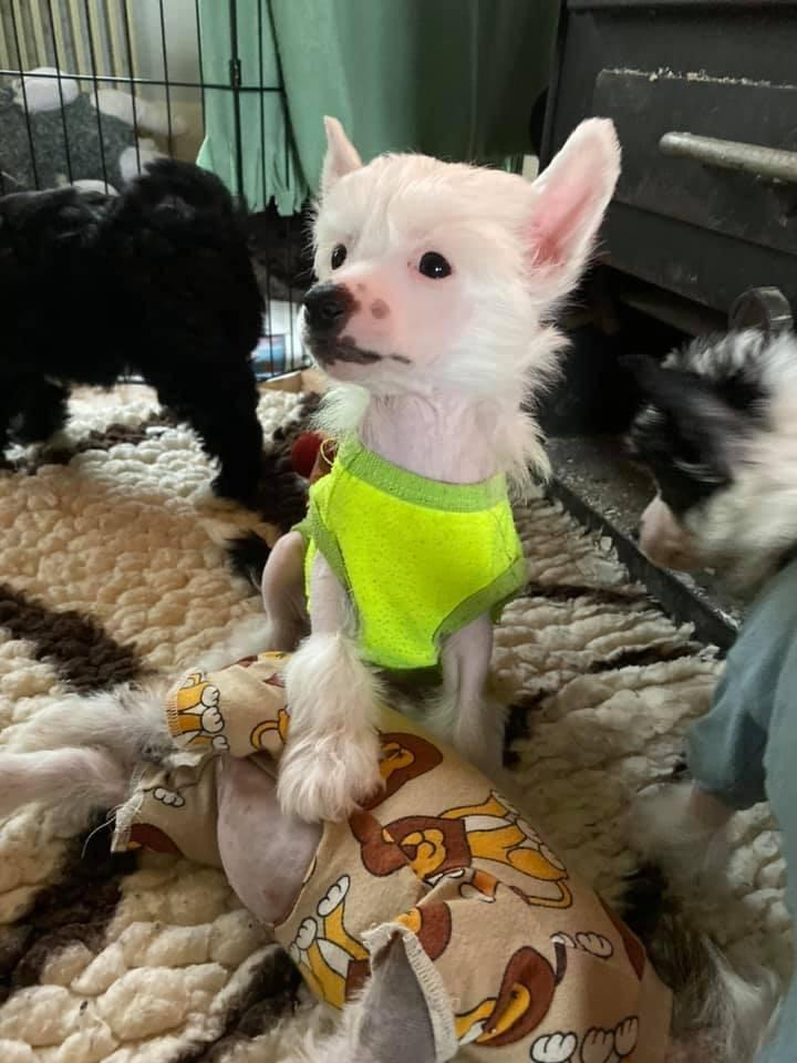 Chinese crested hårløs Freddie - 8 uger billede 8