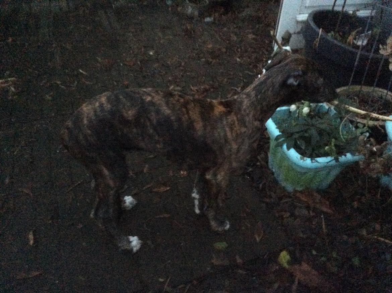 Greyhound Eikica Brave Billy billede 3