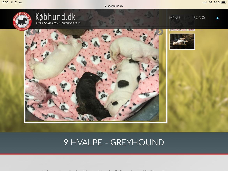 Greyhound Eikica Brave Billy billede 6